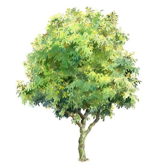 065 手绘园林植物立面图